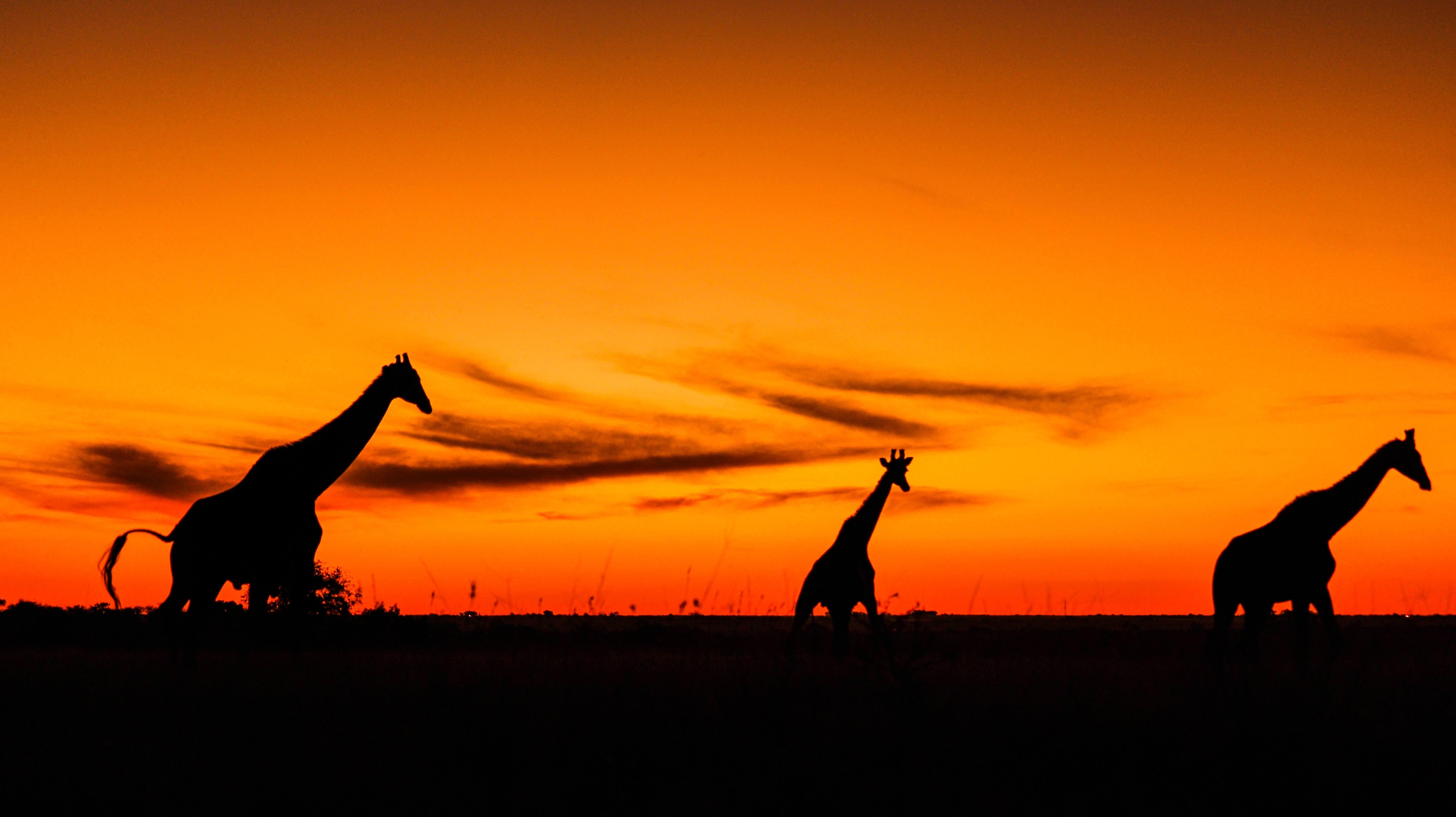 Giraffes walk against orange sunset